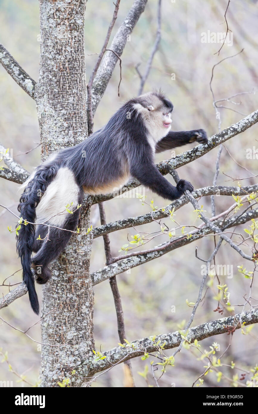 Adult male Yunnan Snub-nosed Monkey (Rhinopithecus bieti) feeding on lichen on the branch of a tree in the Himalayan - Stock Image