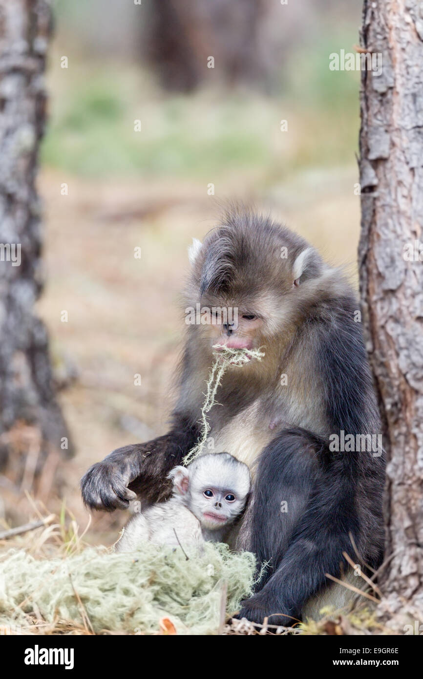 A Yunnan Snub-nosed Monkey (Rhinopithecus bieti) mother feeds while her baby clings to her side - Stock Image