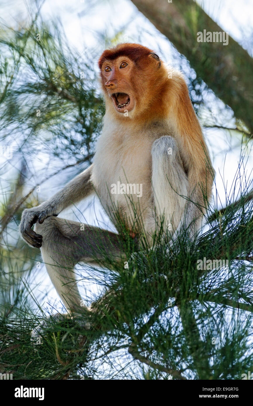 Male Proboscis monkey agonistic display (to Crab-eating macaques feeding nearby) - Stock Image
