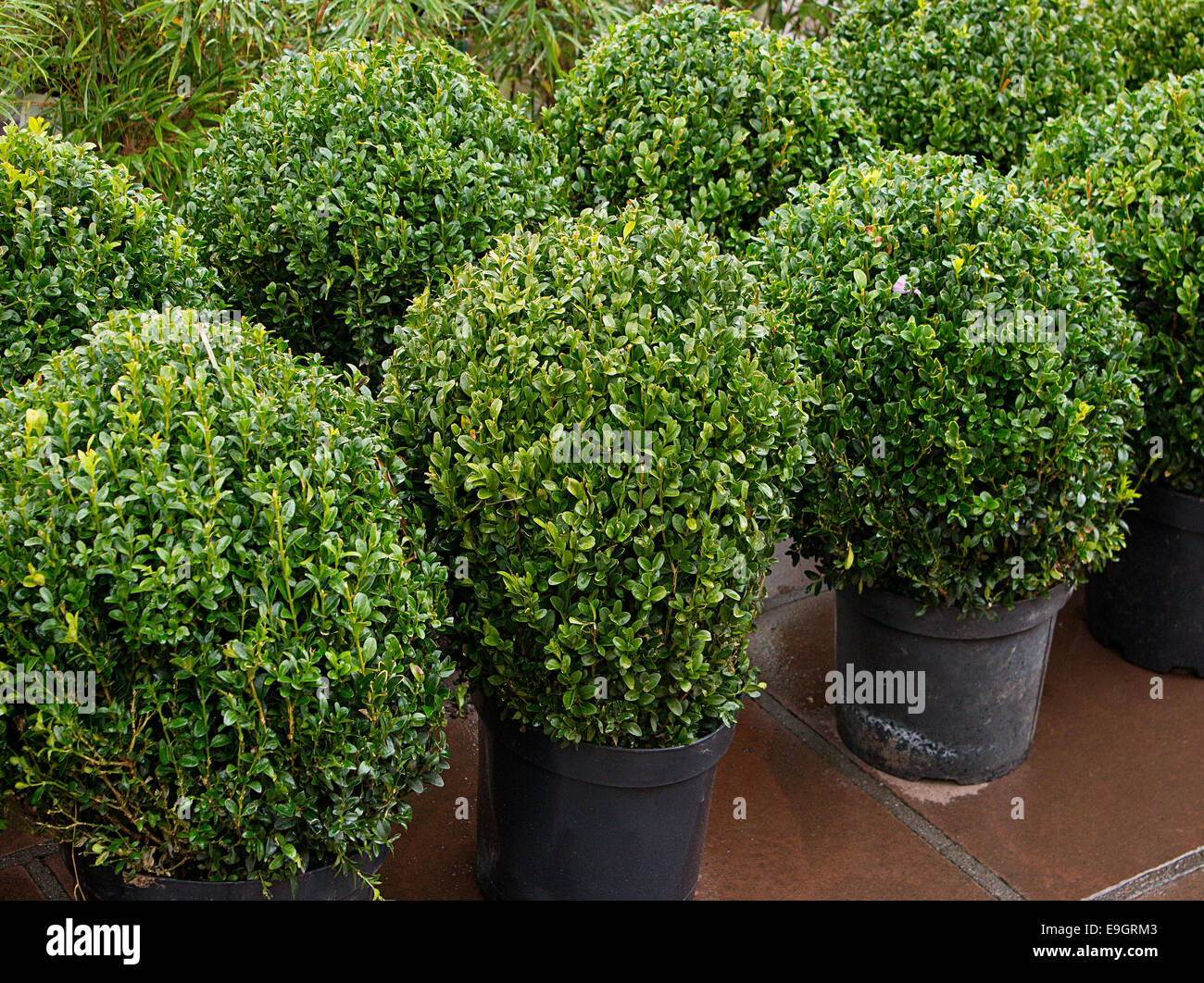 Row of topiary bushes in pots for sale at a nursery or garden centre a great feature for landscape gardeners. - Stock Image