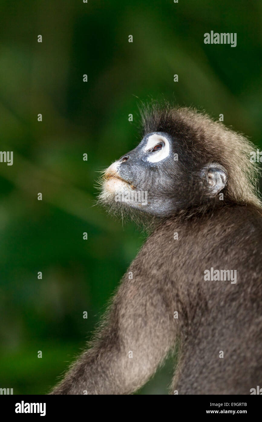 Close-up portrait of a pregnant female Dusky leaf monkey (Trachypithecus obscurus) - Stock Image