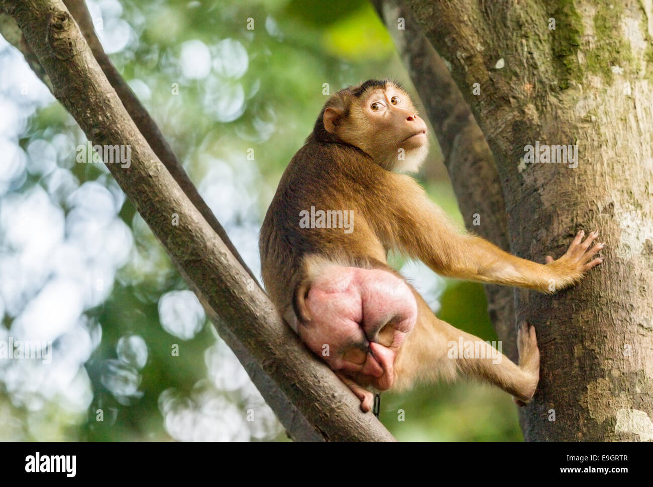 Female Southern Pig-tailed Macaque (Macaca nemestrina) in season as indicated by her swollen posterior. - Stock Image