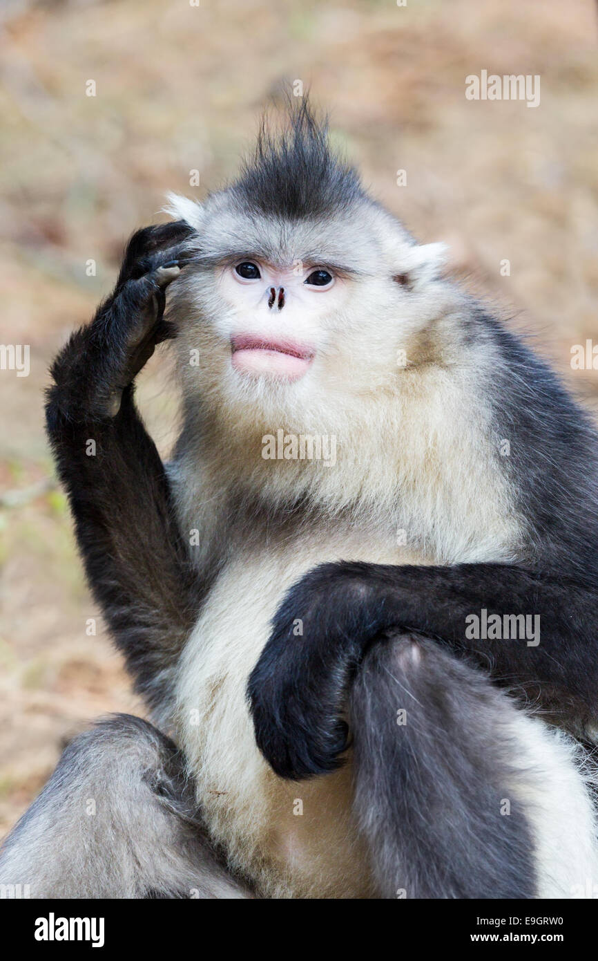 Yunnan Snub-nosed Monkey (Rhinopithecus bieti) scratches its head - Stock Image