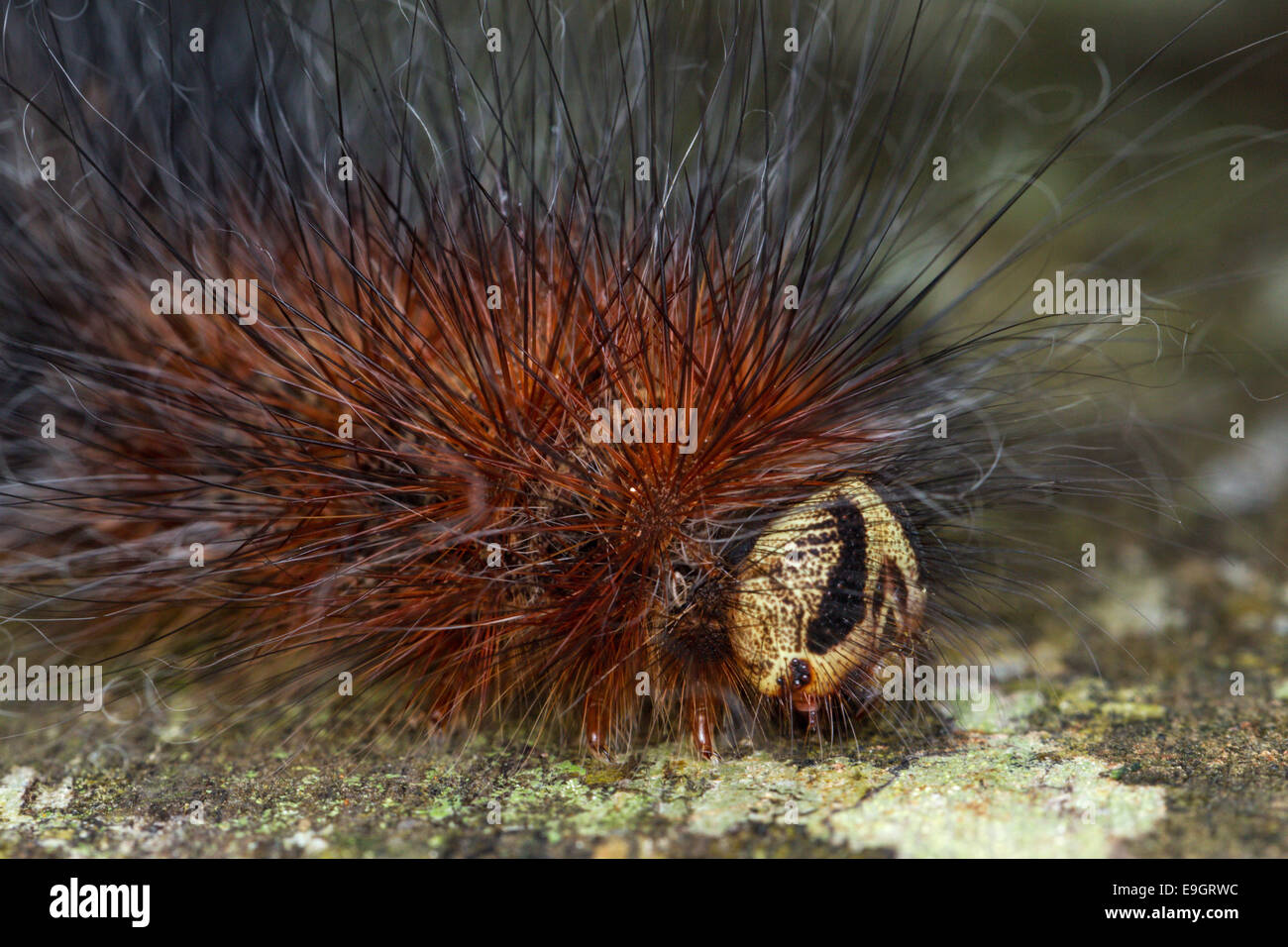 Close up of tropical caterpillar's long fine hair-like setae - urticating bristles or irritating hairs -  in - Stock Image