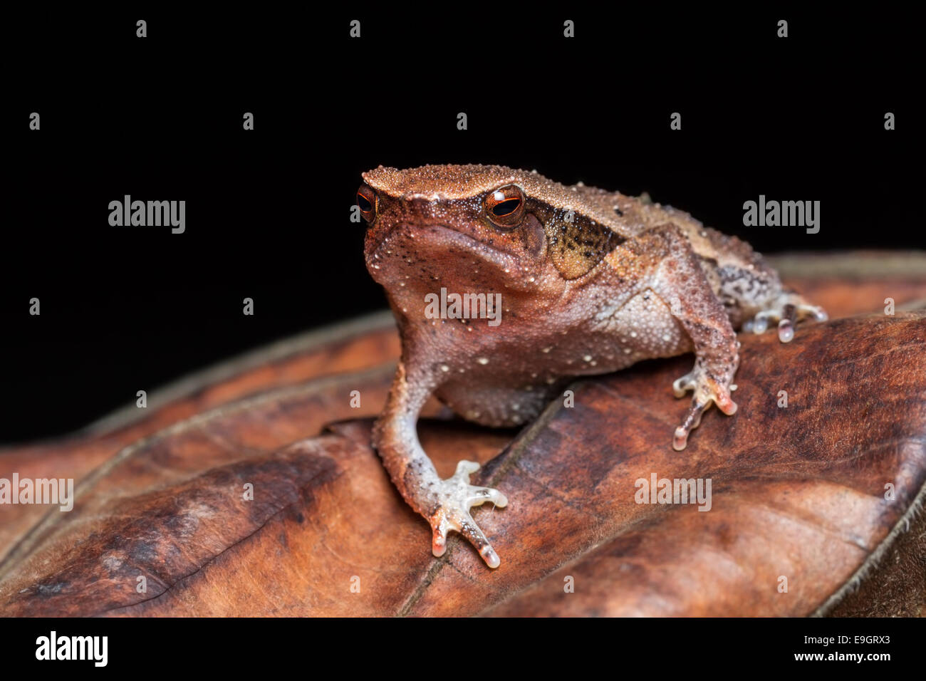 Black-spotted Sticky Frog (Kalophrynus pleurostigma) in a Malaysian tropical rainforest at night Stock Photo