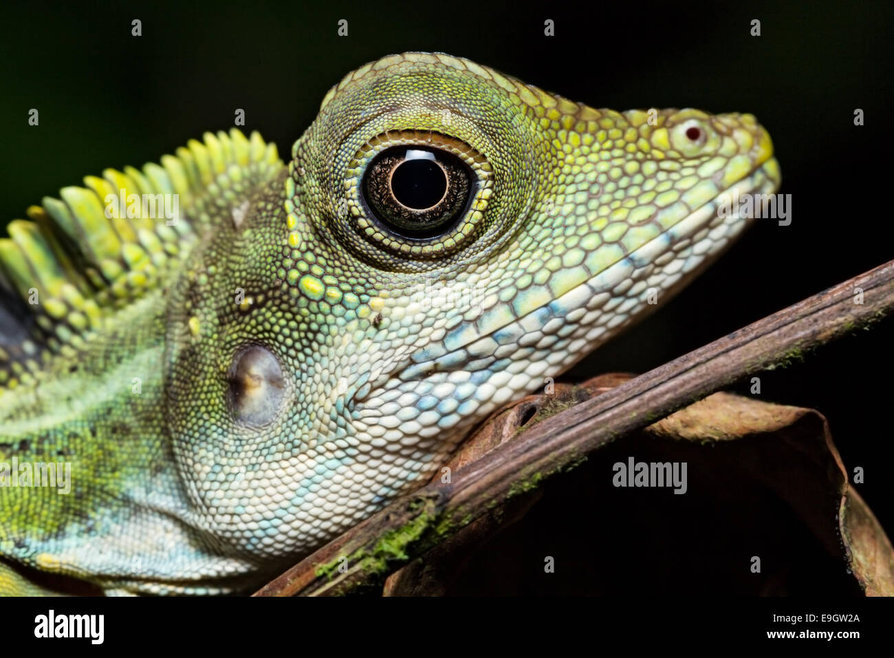 Adult male Great Anglehead Lizard (Gonocephalus grandis) resting during the night on a tree in a Malaysian tropical - Stock Image