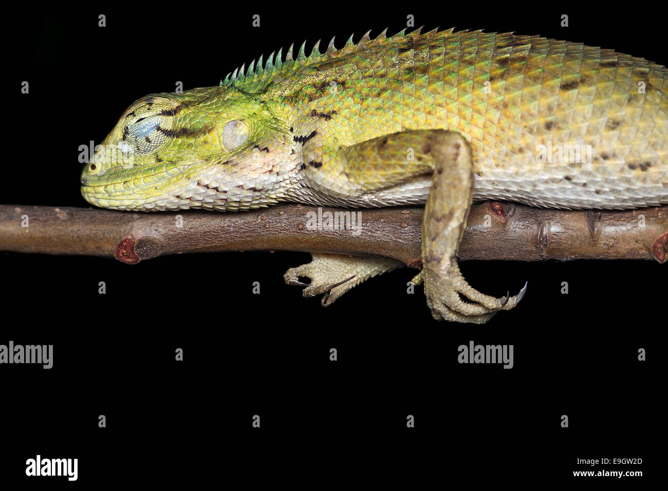 Close-up side profile of Changeable lizard (Calotes versicolor) sleeping on a bush at night in Singapore - Stock Image