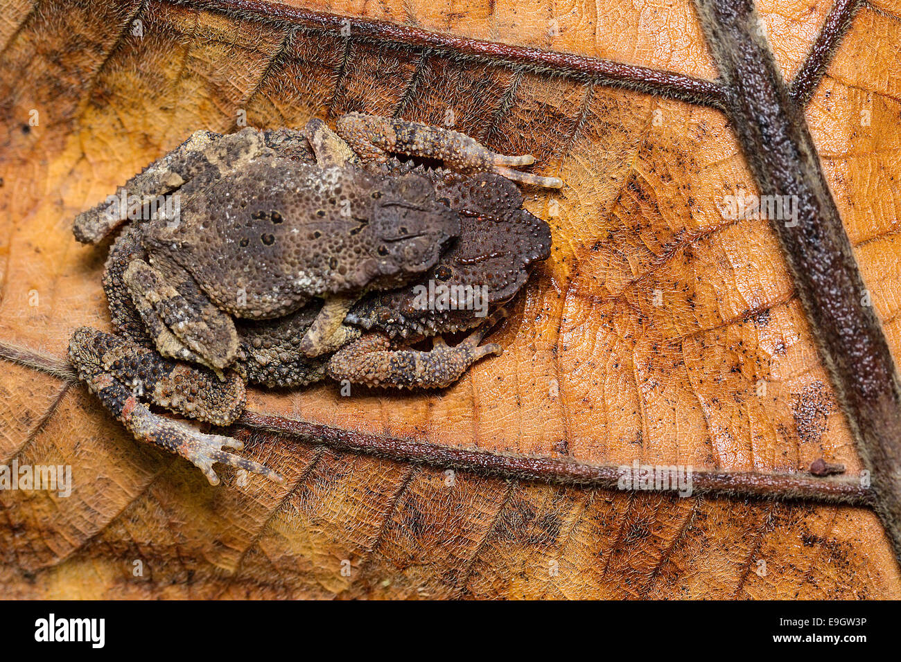 Mating pair of Dwarf Stream Toad (Ingerophrynus parvus) in amplexus in the tropical rainforest of Malaysia - Stock Image