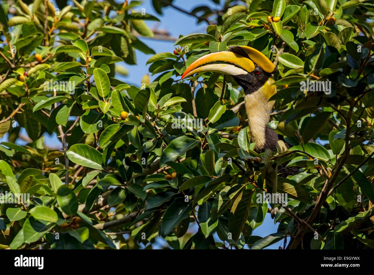 A male Great hornbill (Buceros bicornis) foraging for food in the tropical rainforest canopy - Stock Image