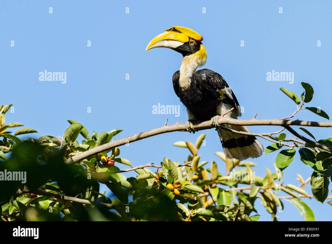 Adult female Great hornbill (Buceros bicornis) in tropical rainforest canopy - Stock Image