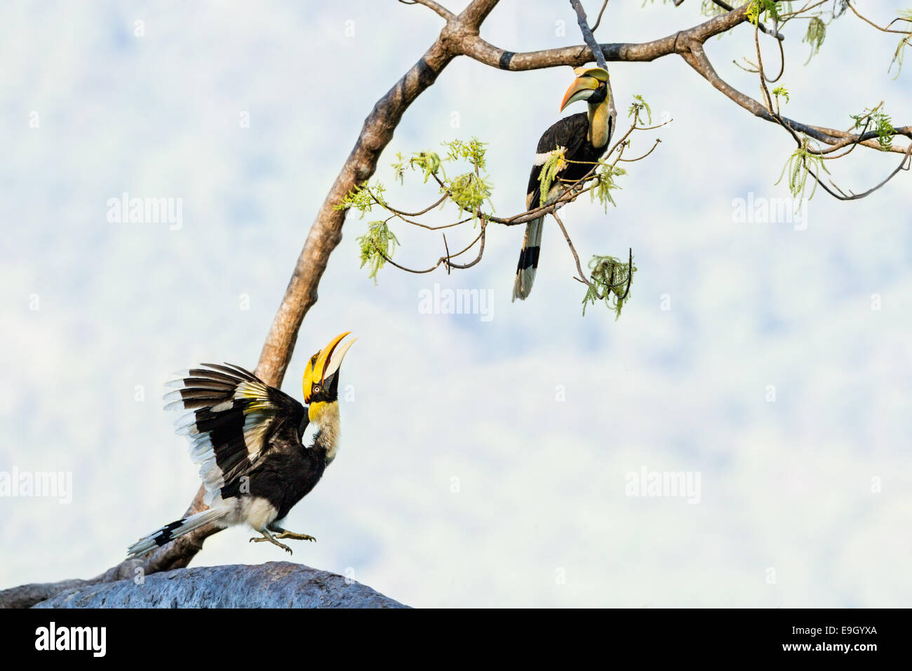 A displaying Great hornbill (Buceros bicornis) observed by another in tropical rainforest canopy - Stock Image
