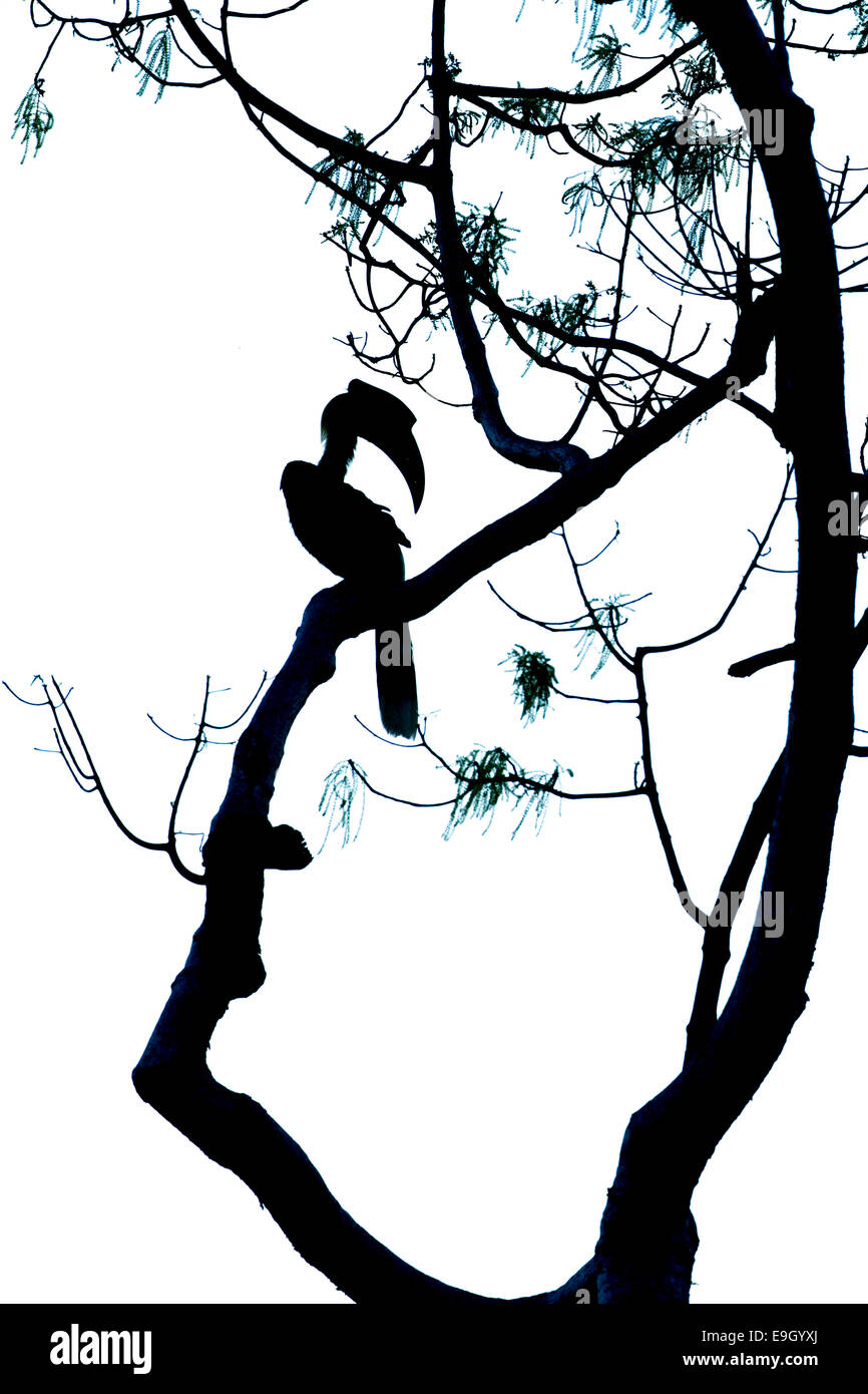 Silhouette of Great hornbill (Buceros bicornis) in tropical rainforest canopy - Stock Image