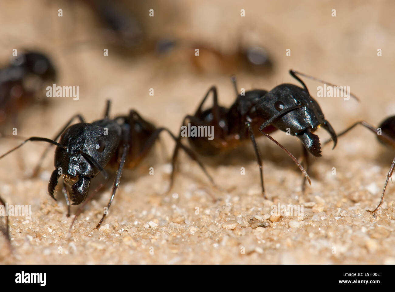 Ants ready to protect the colony - Stock Image