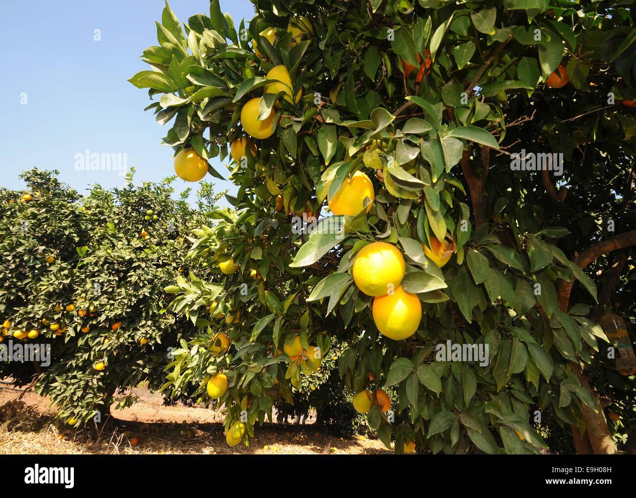 Orange Orchard, Israel - Stock Image