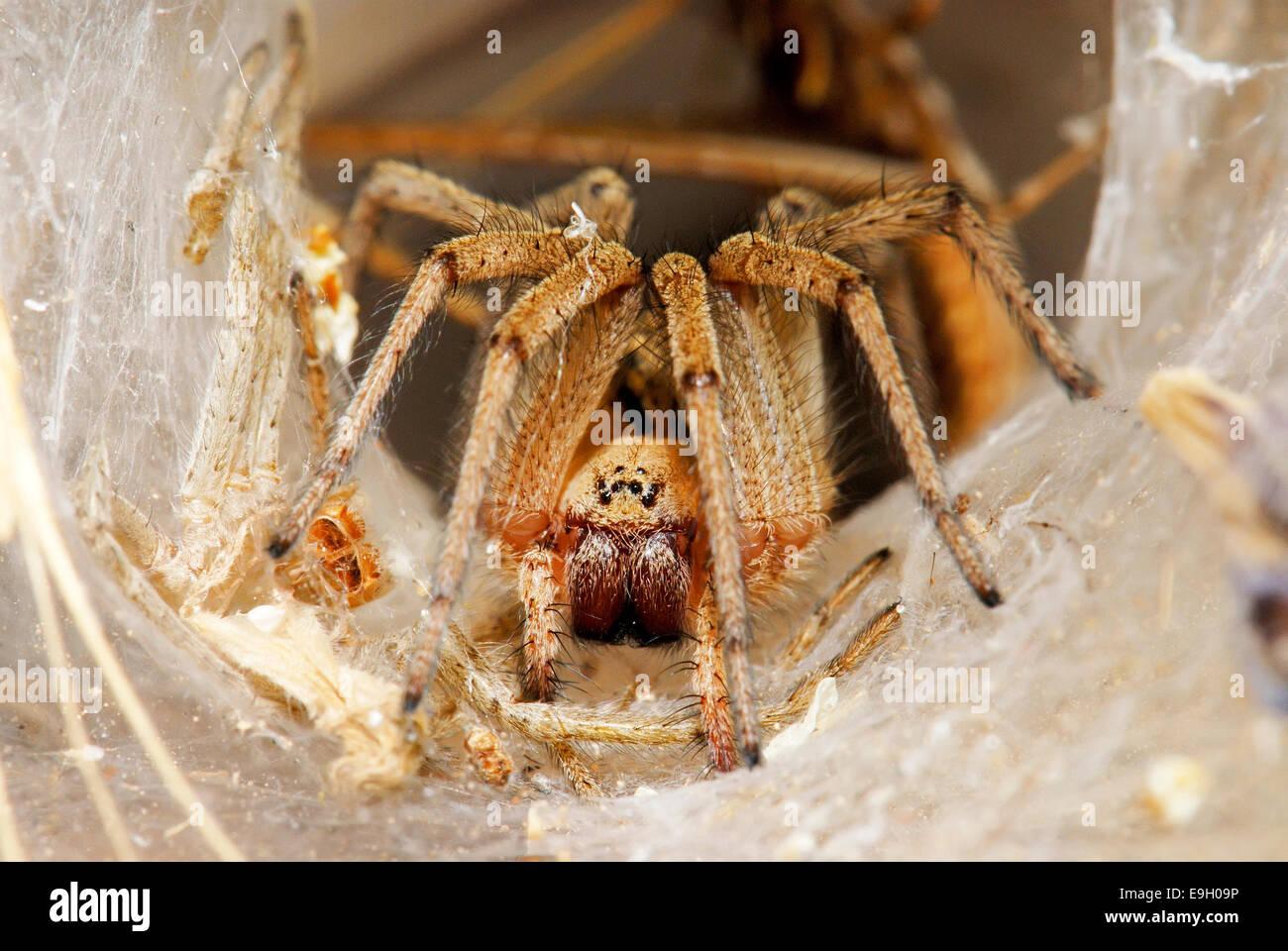 Spider, Agelenidae - Stock Image