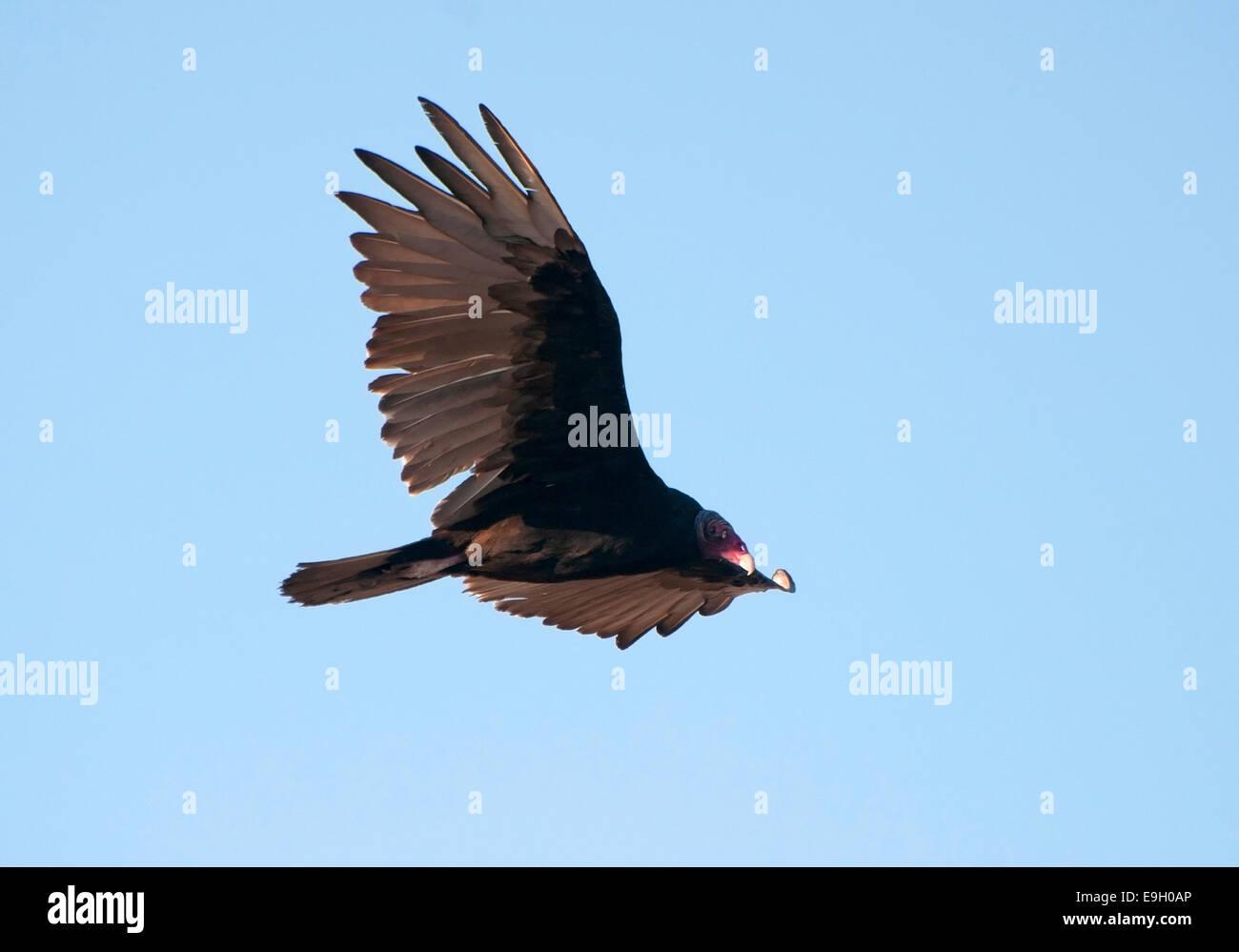Turkey Vulture, Cathartes aura, Flying - Stock Image