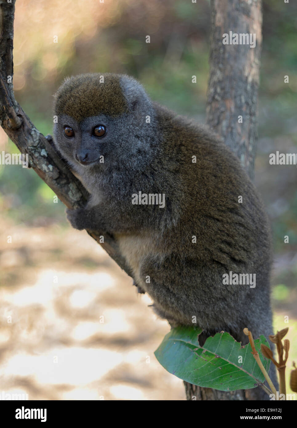 The bamboo or gentle lemur in Magagascar - Stock Image