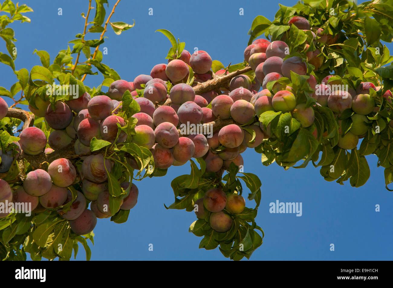 Plum Tree Fruits Stock Photos & Plum Tree Fruits Stock Images - Alamy