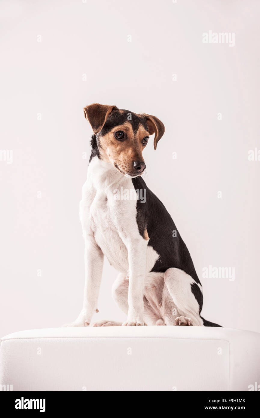 Danish Swedish Farmdog Stock Photo