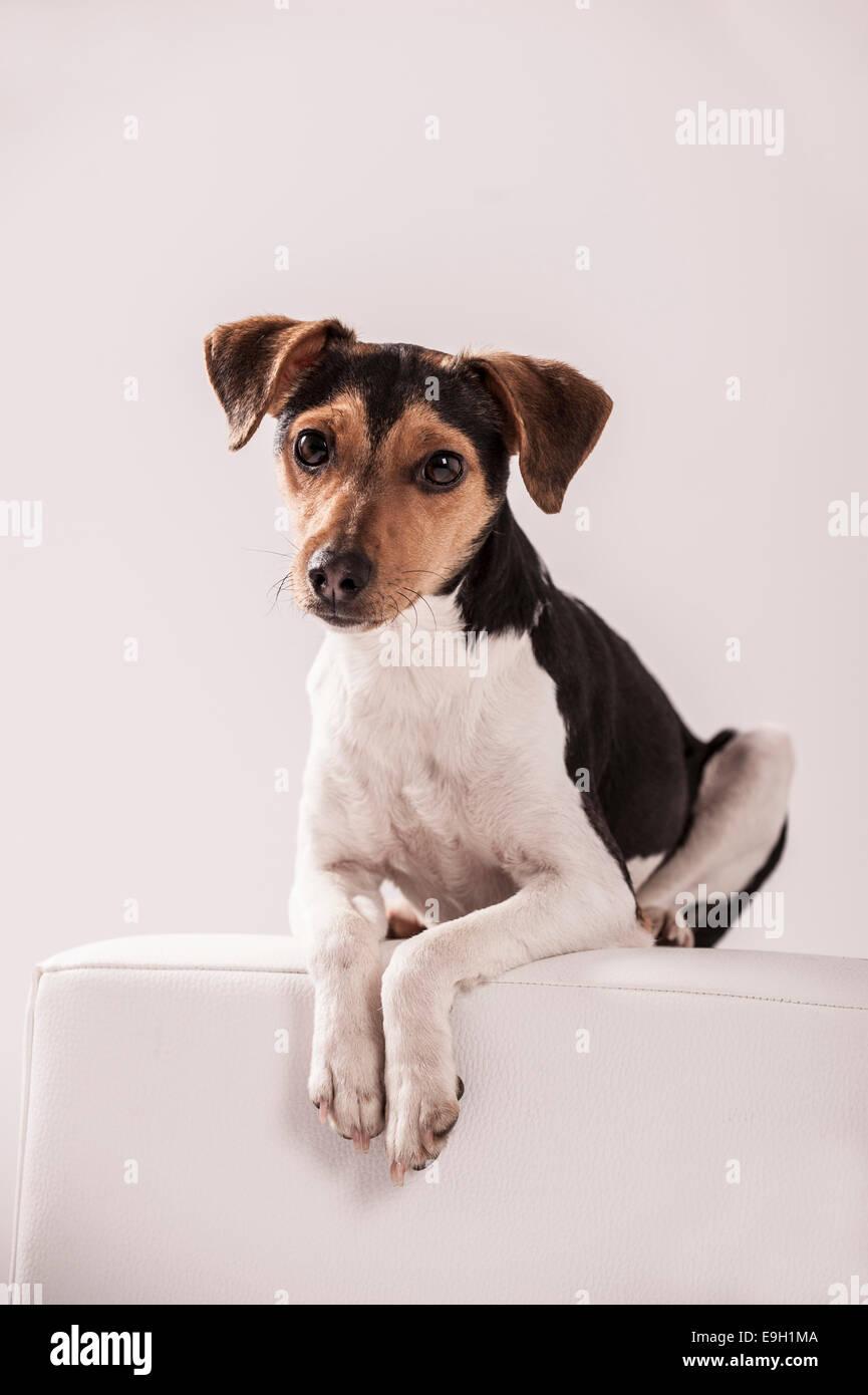 Danish Swedish Farmdog lying on a stool Stock Photo
