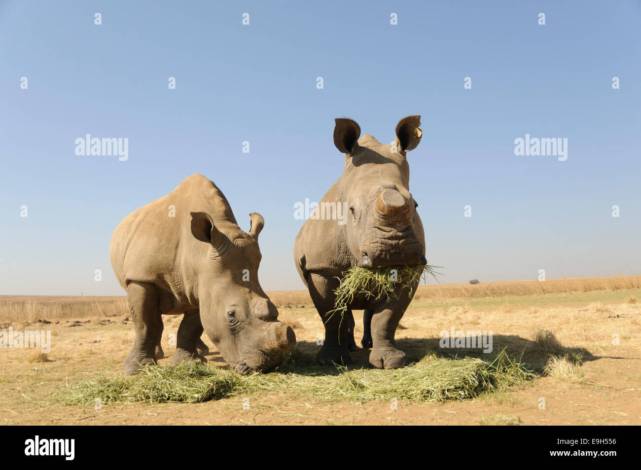 White Rhinos (Ceratotherium simum) with sawed-off horns being fed during the dry season, Rietvlei Nature Reserve, - Stock Image
