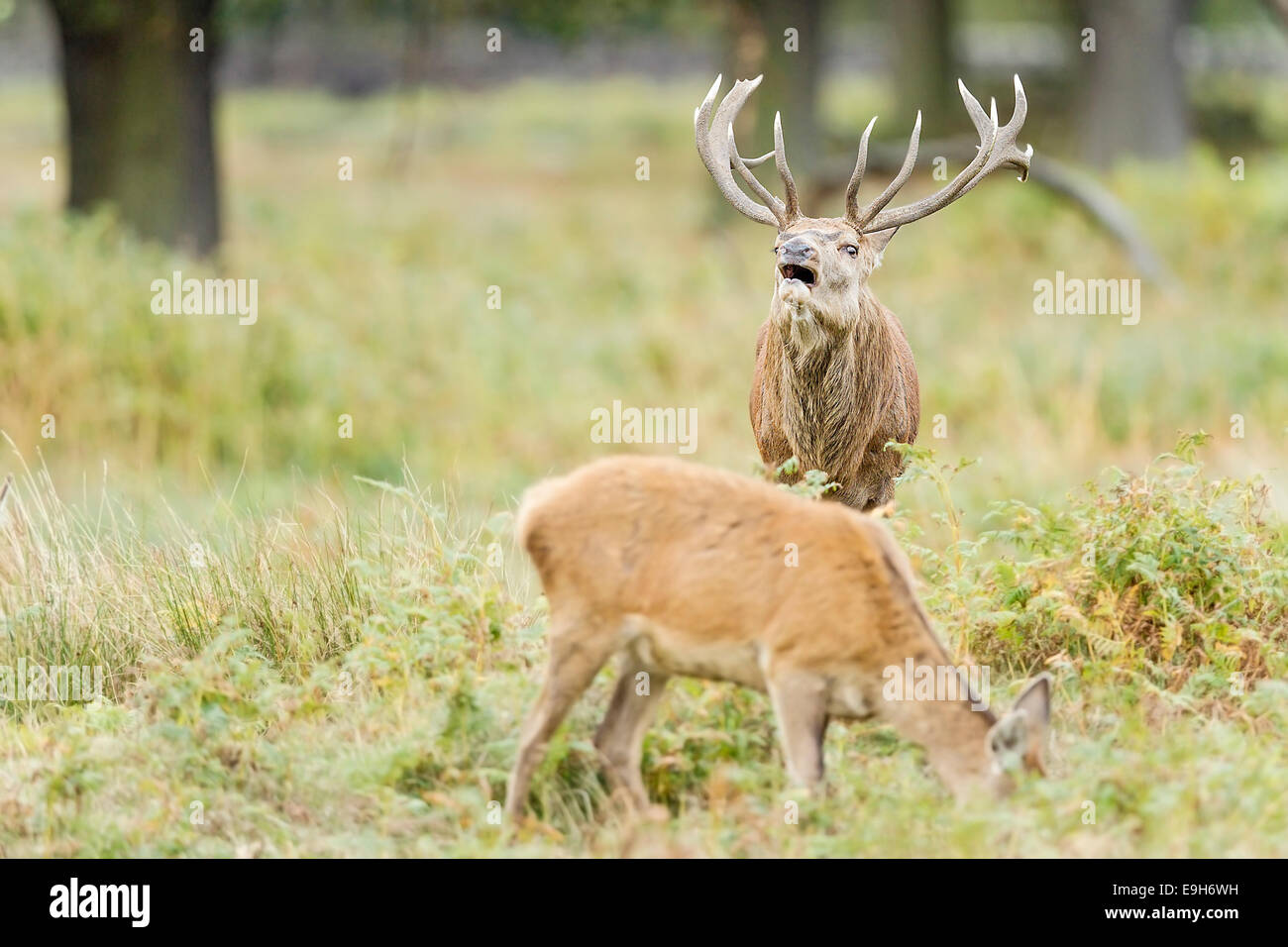 Red deer (Cervus elaphus) stag displays flehmen response during the annual rut - Stock Image