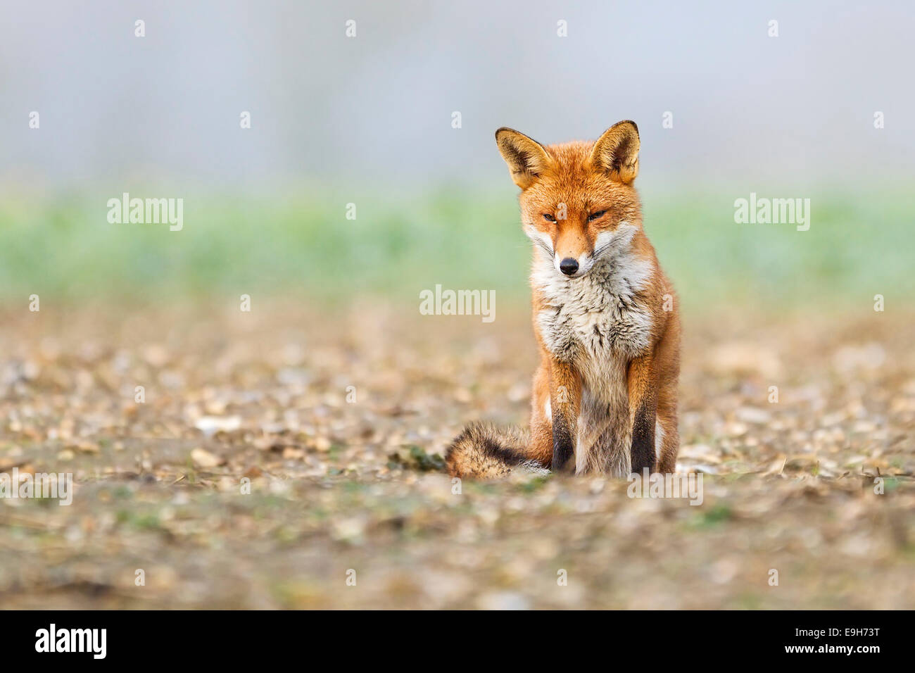 Red fox (Vulpes vulpes) resting in an arable field prior to a snow storm - Stock Image