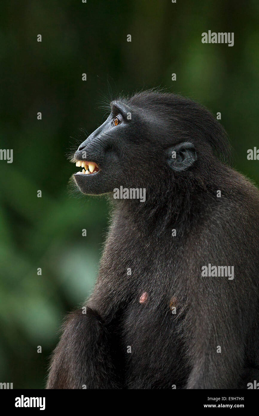 Close-up side profile of a captive Sulawesi crested macaque (Macaca nigra) - Stock Image