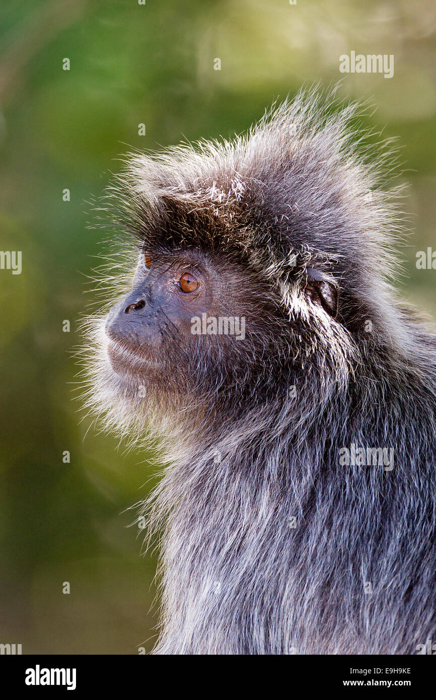 Silvery Lutung (Trachypithecus cristatus) also known as Silvery Langur or Silvered Leaf Monkey close-up - Stock Image