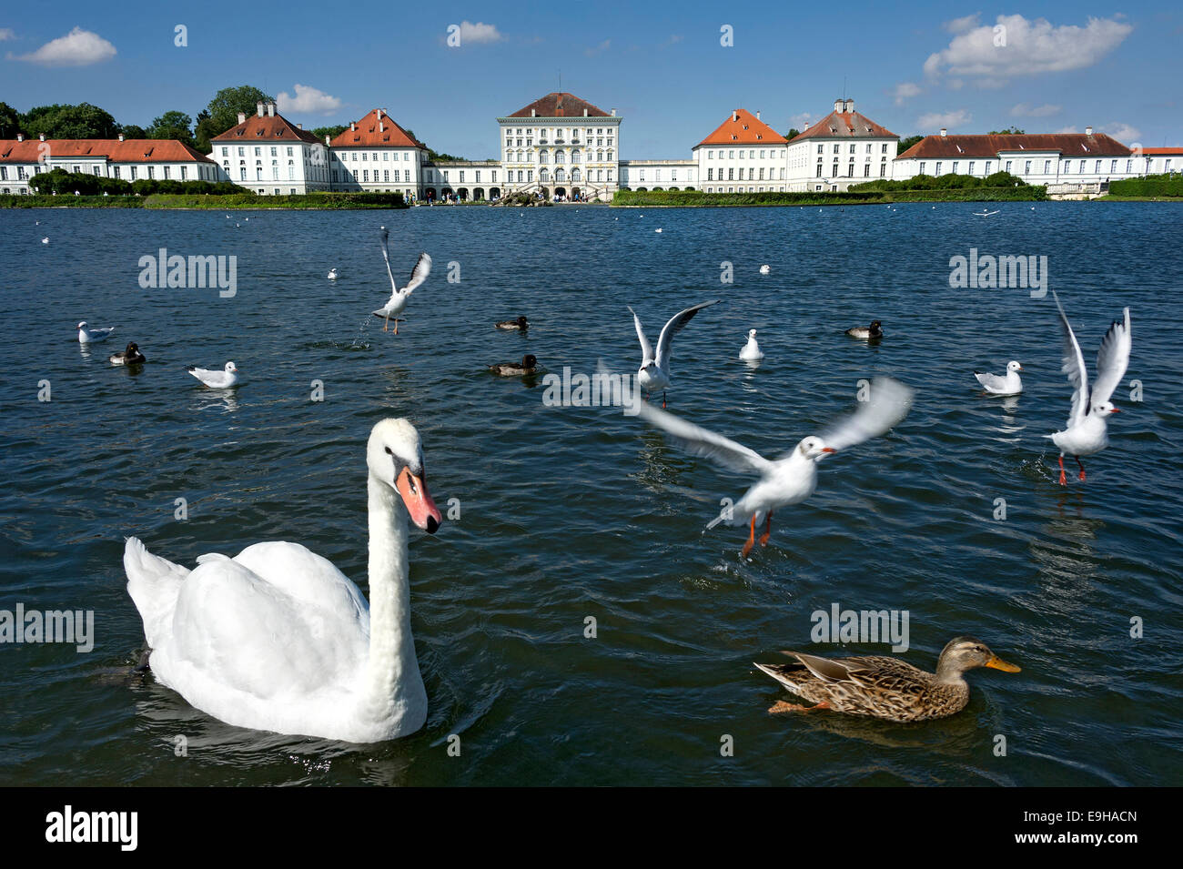 Mute swans (Cygnus olor) and other water birds on the palace canal, behind the east side of Nymphenburg Palace, - Stock Image