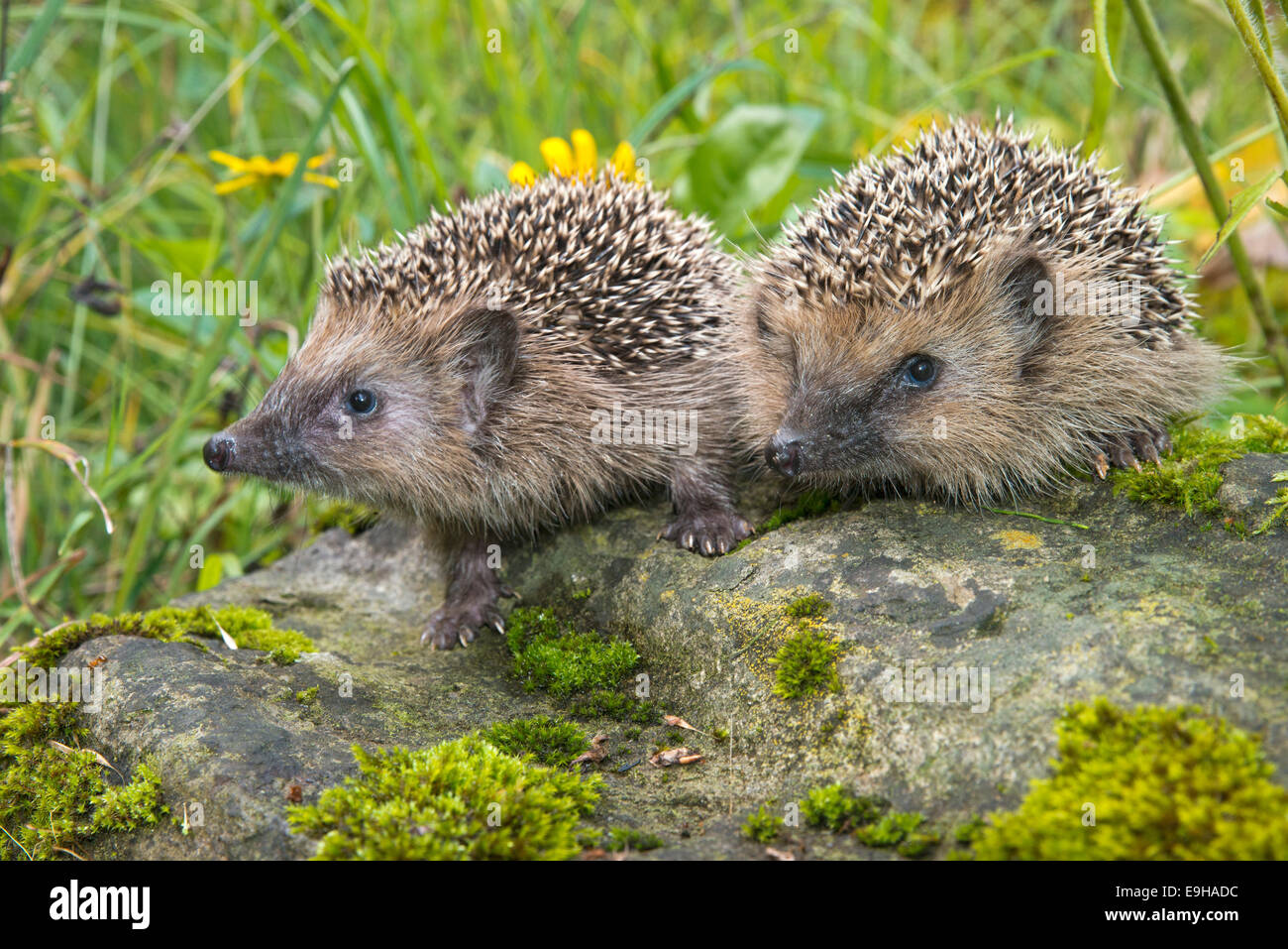 European hedgehog (Erinaceus europaeus), Tyrol, Austria Stock Photo
