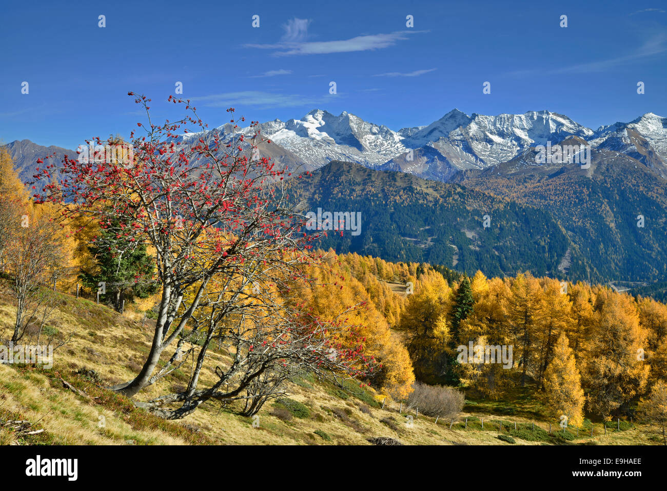 Larch forest (Larix) in autumn, behind the Zillertal Alps, Tyrol, Austria Stock Photo