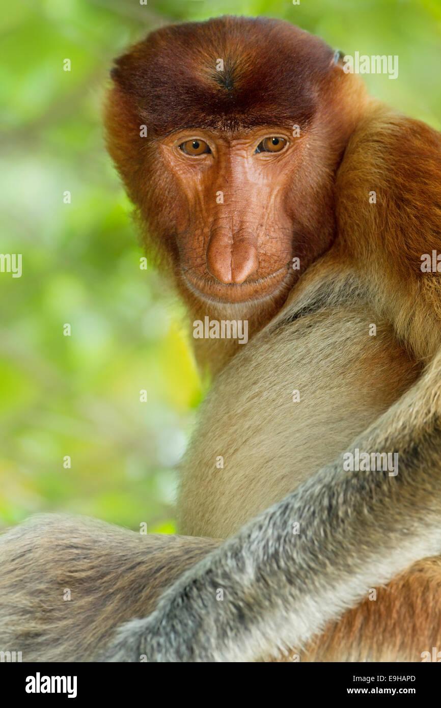 Male Proboscis monkey (Nasalis larvatus) portrait - Stock Image