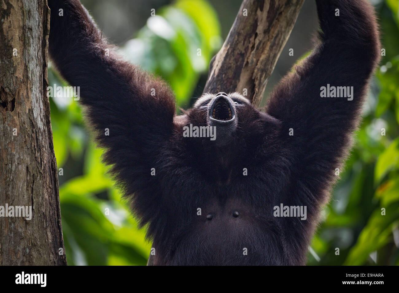 Captive Agile Gibbon (Hylobates agilis) at Singapore Zoo - Stock Image