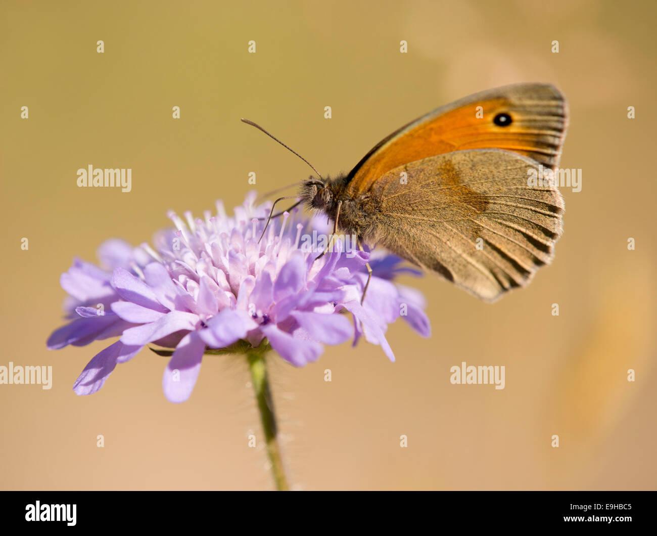 Small Heath (Coenonympha pamphilus) sucking nectar, Thuringia, Germany - Stock Image