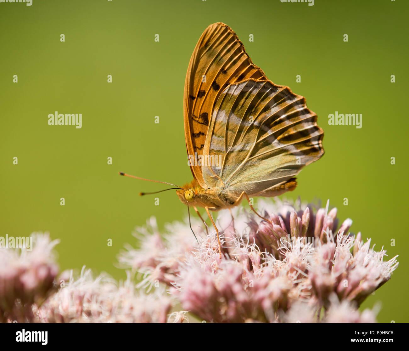 Silver-washed Fritillary (Argynnis paphia) sucking nectar, Thuringia, Germany - Stock Image