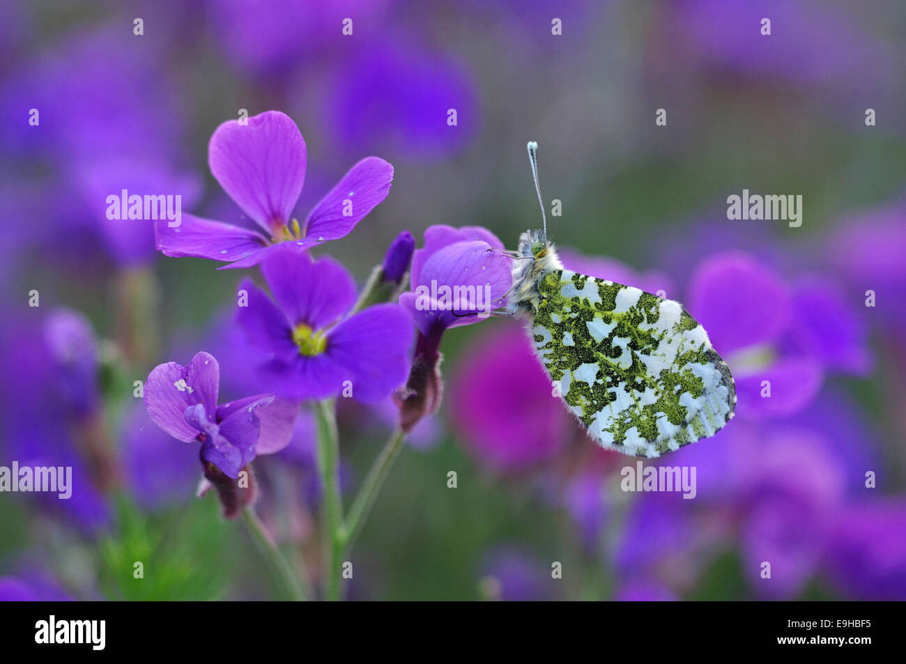 orange tip butterfly insect invertebrate anthocharis cardamines spring - Stock Image