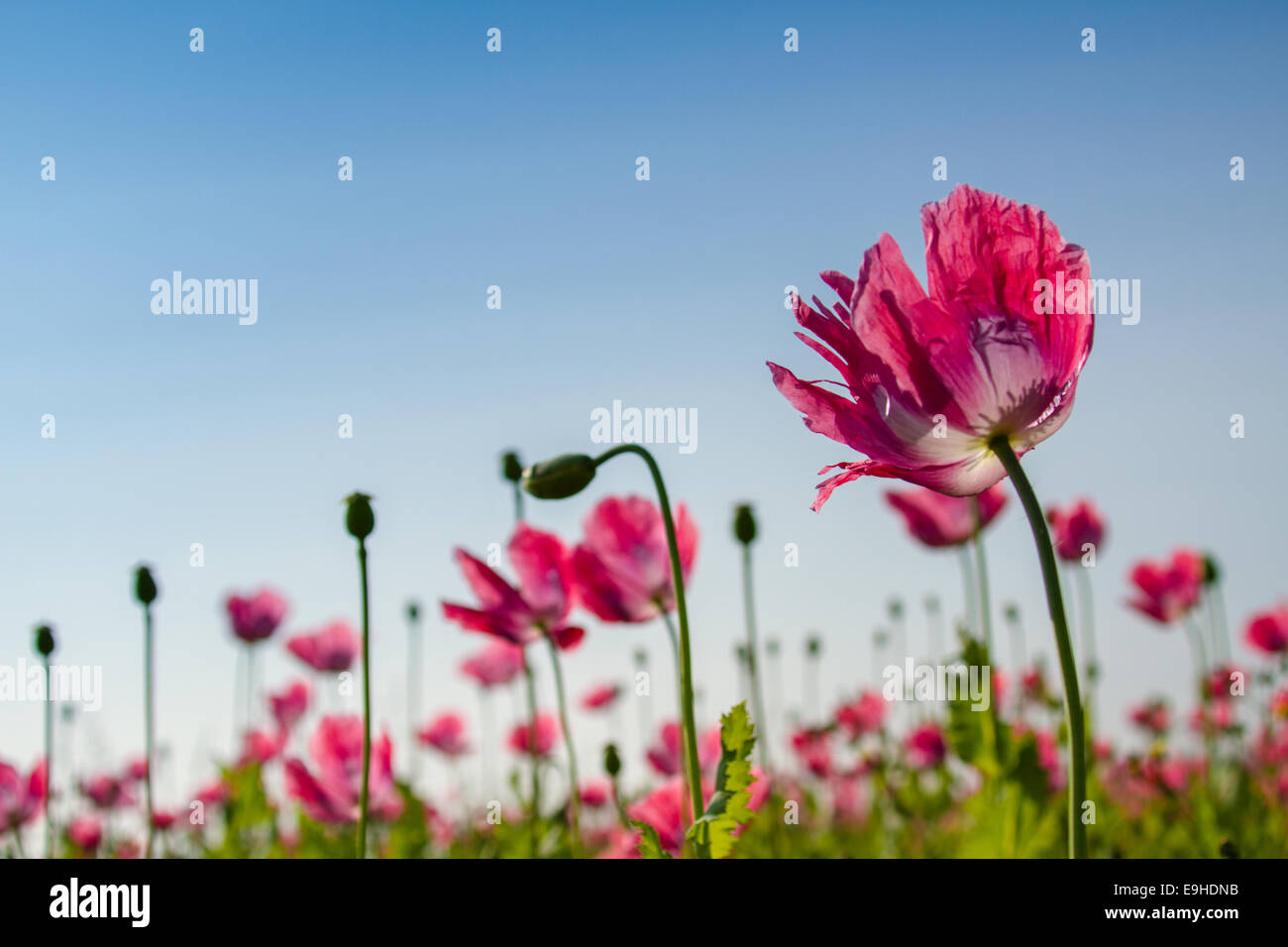 Opium poppy field Stock Photo