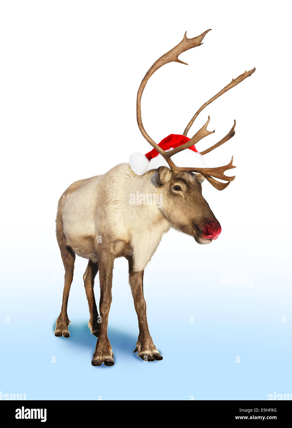 184deb26695ad Rudolph red nose reindeer or caribou with Christmas hat Stock Photo ...