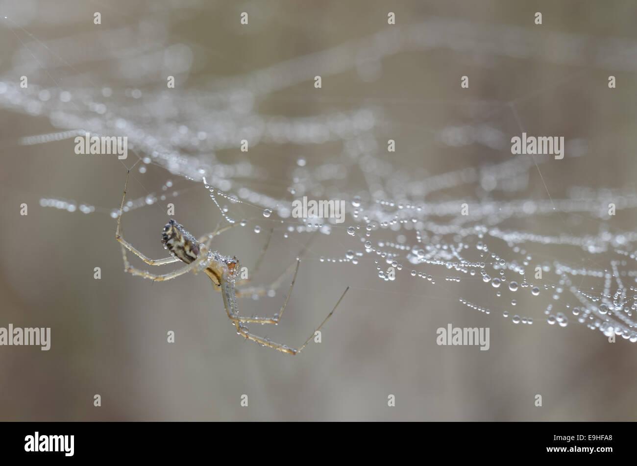 Sheet Weavers (Linyphiidae), Germany - Stock Image