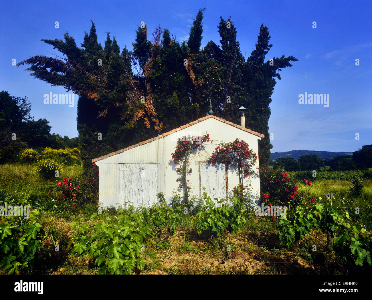 White hut with climbing red roses in a Vineyard. Languedoc-Roussillon region Region. France - Stock Image