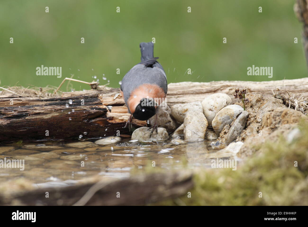 Common Bullfinch drinking water Stock Photo