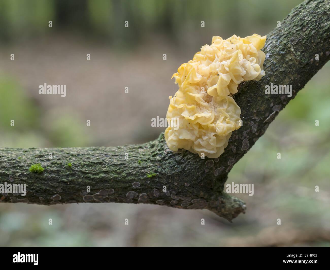 yellow brain (Tremella mesenterica), Germany - Stock Image