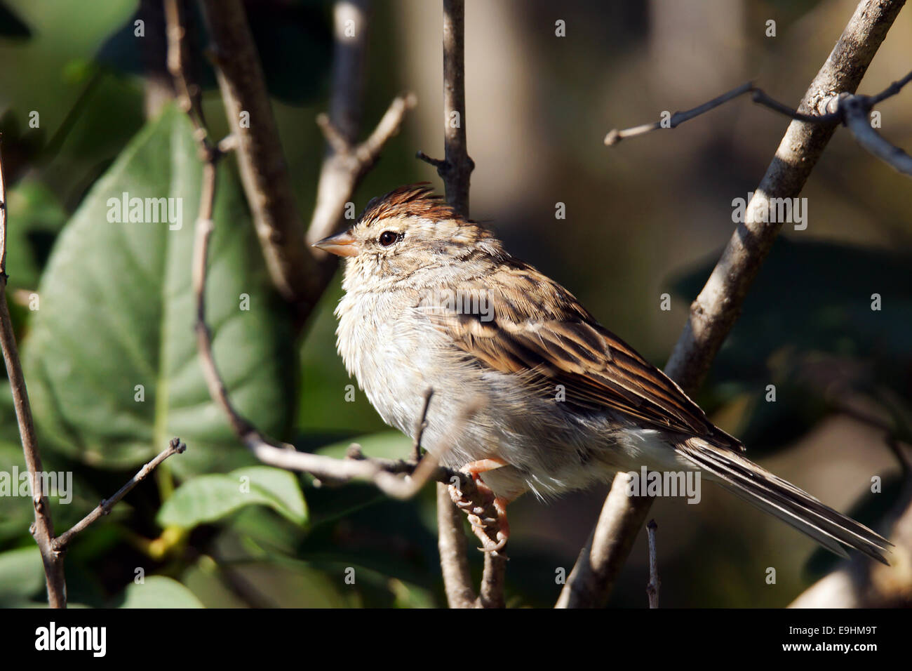 Chipping sparrow, Spizella passerina,little bird on a branch - Stock Image