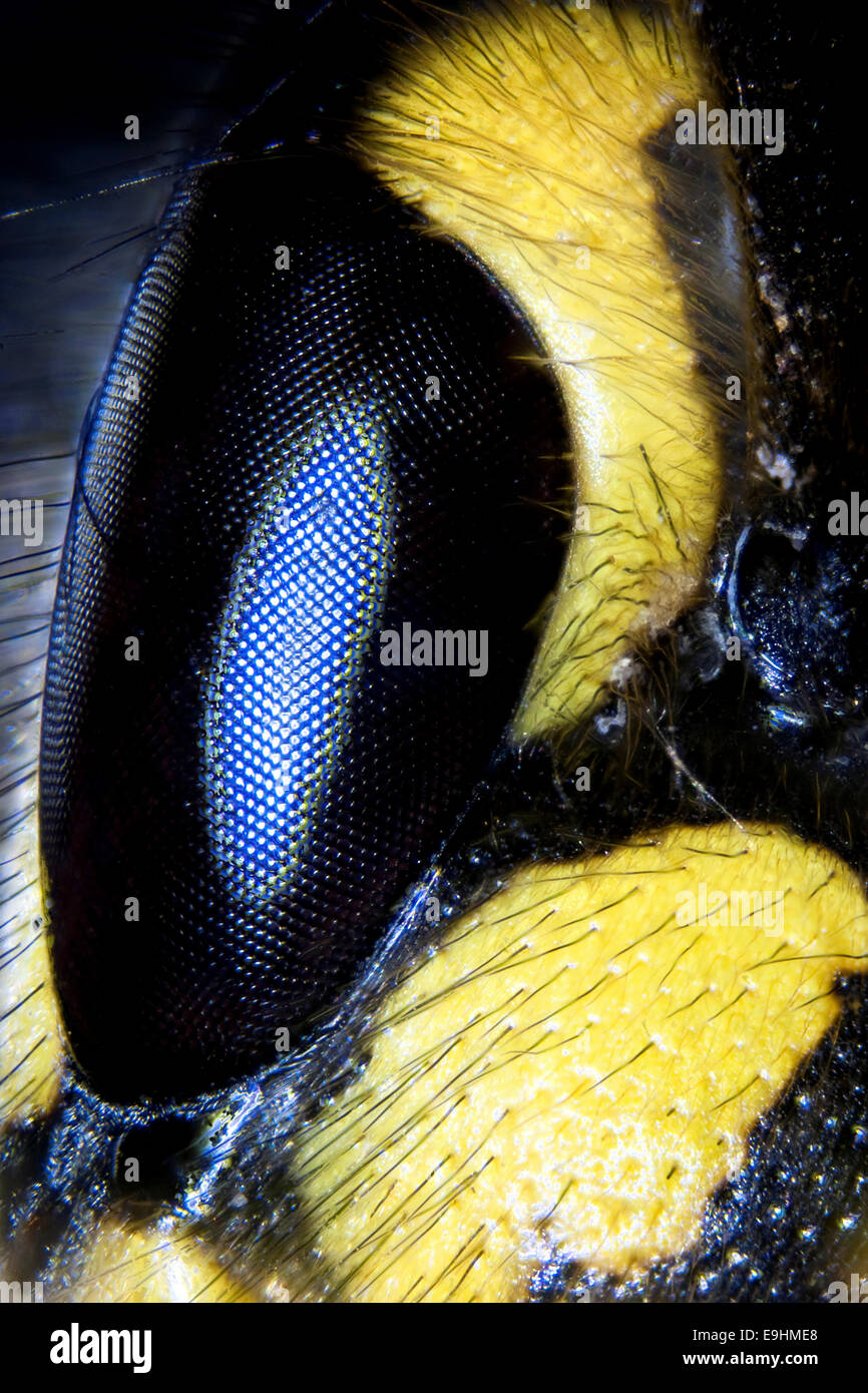 Micro photo: Detail of a wasp face - Stock Image