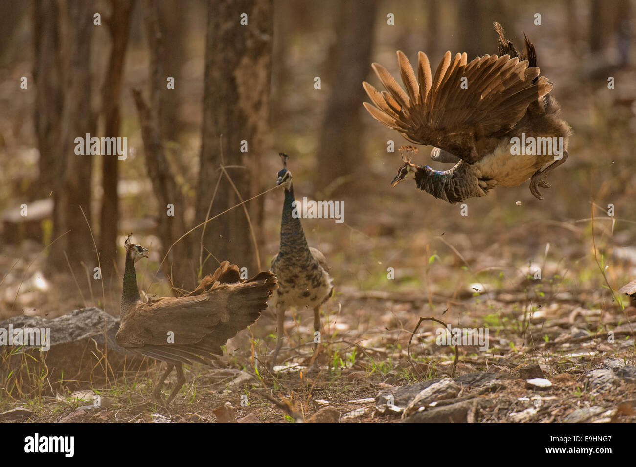 Female Indian peafowls or Pavo cristatus fighting in the dry jungles of Ranthambhore Stock Photo