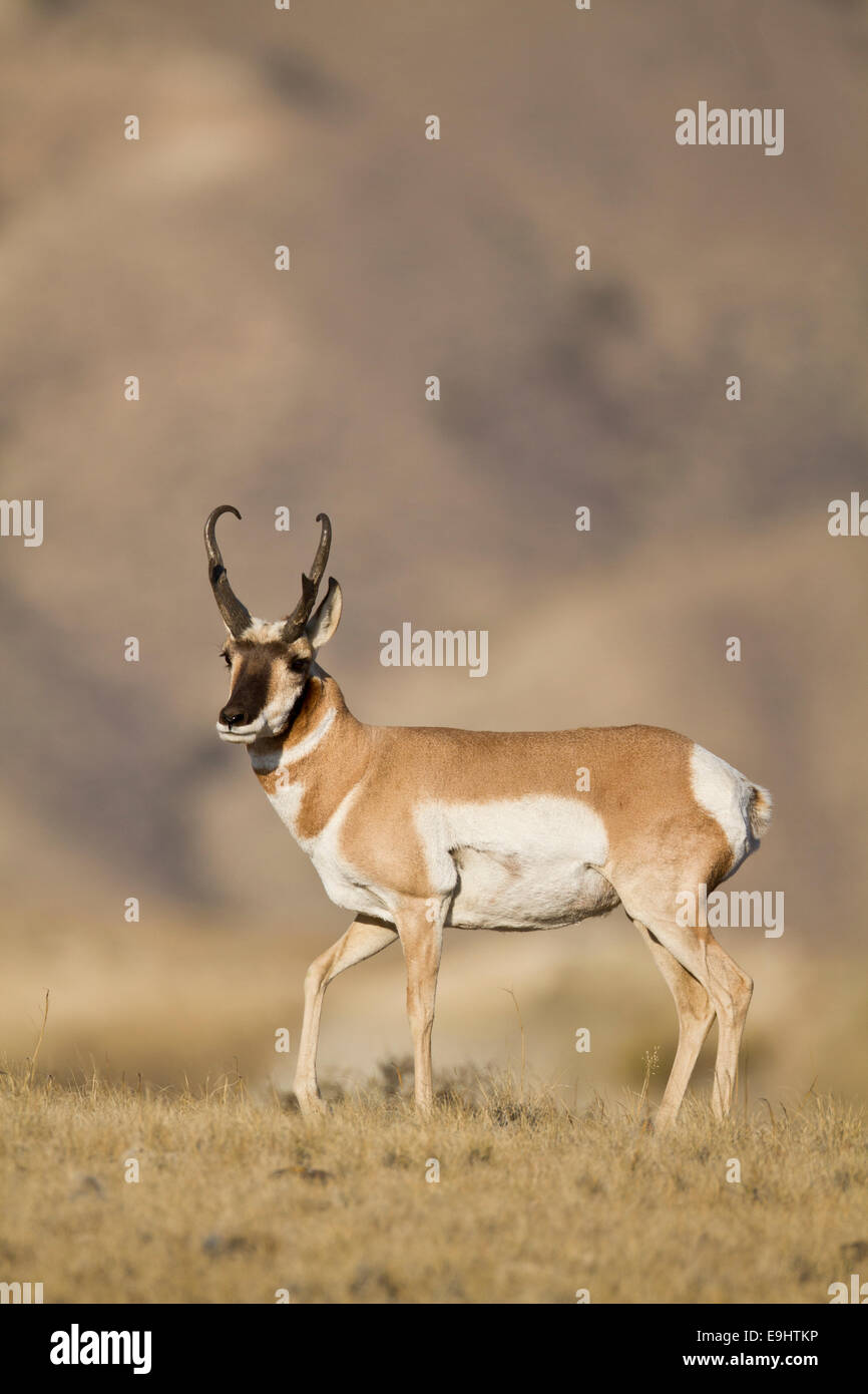 Pronghorn antelope buck during the fall rut in Wyoming - Stock Image