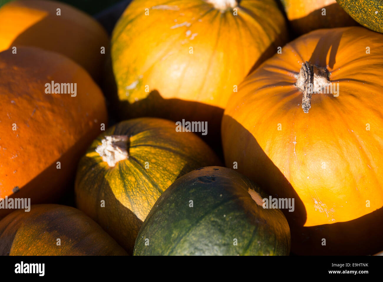 Newport Pagnell, Buckinghamshire, UK. 28th October, 2014.  Mr John Sharrn shows his own grown pumpkins in time for Stock Photo