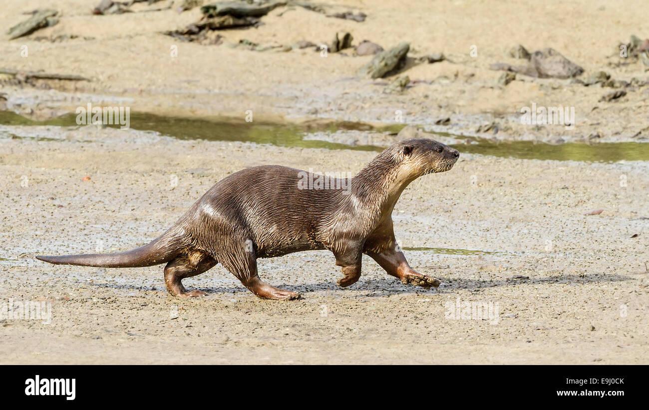 Smooth-coated otter (Lutrogale perspicillata) in mangrove habitat, Singapore Stock Photo