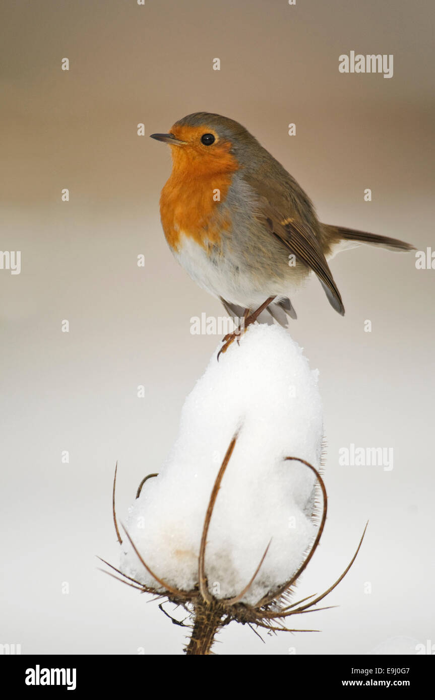 European Robin (Erithacus rubecula) perched on snow covered teasel seedhead - Stock Image